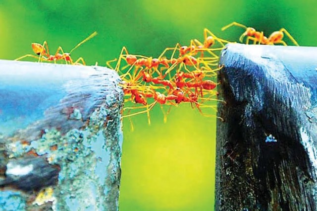 ants bridging the chasm